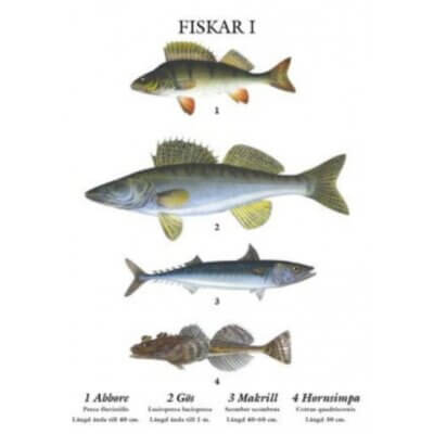 skolplansch-poster-tavla-fiskar-abborre-gös-makrill-hornsimpa